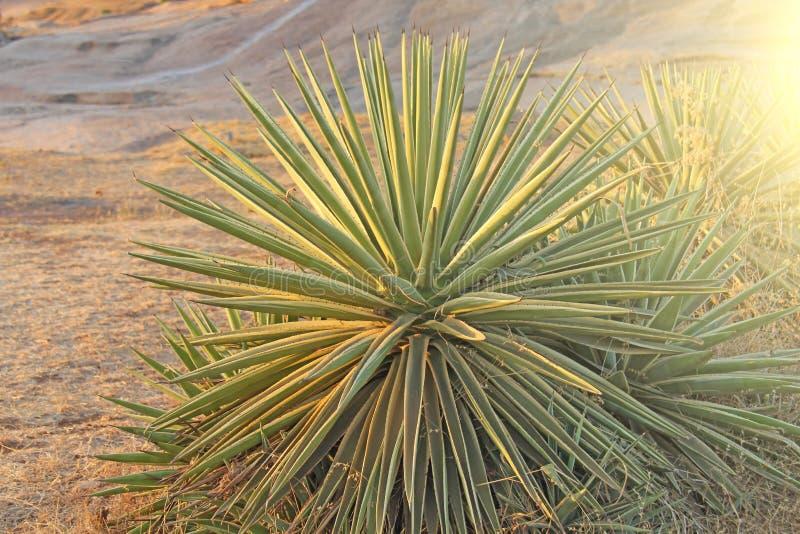 Πράσινος φοίνικας ή κάκτος στο υπόβαθρο ηλιοβασιλέματος Φοίνικας στη μορφή στοκ εικόνα