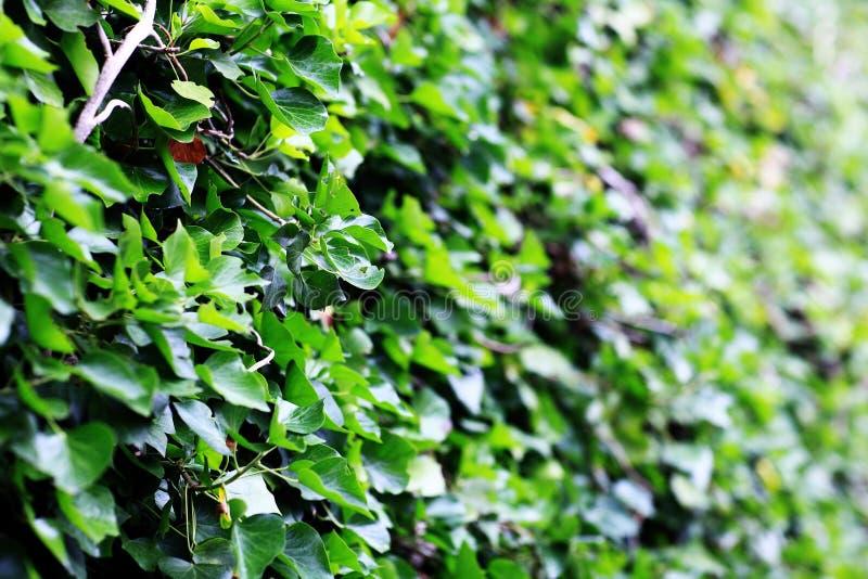 Πράσινος φράκτης από τα φύλλα στοκ εικόνα