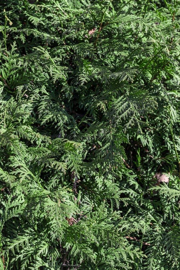 Πράσινος φράκτης των δέντρων Thuja (κυπαρίσσι, ιουνίπερος) στοκ εικόνα