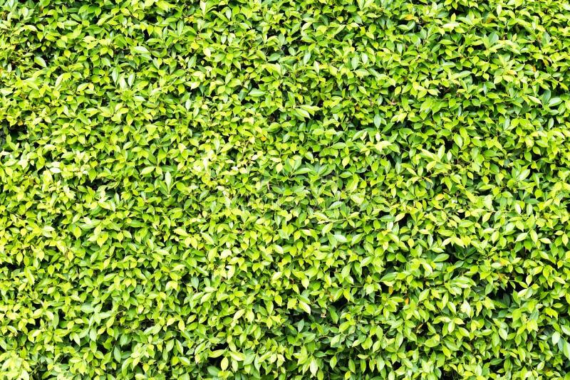 Πράσινος φράκτης φύλλων στοκ εικόνα