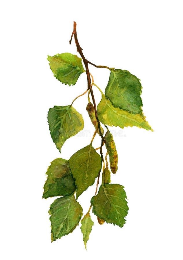 πράσινος φρέσκος κλάδος σημύδων, watercolor διανυσματική απεικόνιση
