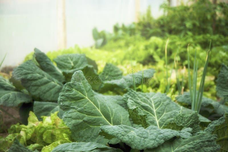 Πράσινος φυτικός κήπος Λάχανο, κρεμμύδι στοκ εικόνες με δικαίωμα ελεύθερης χρήσης