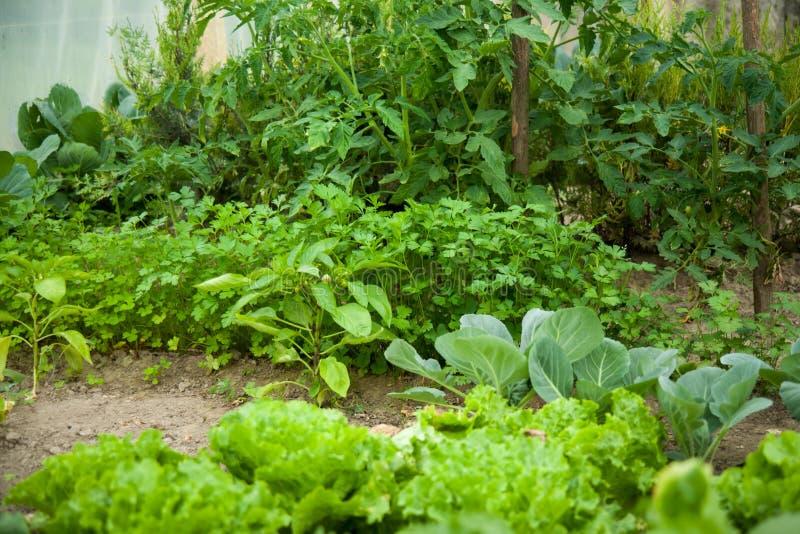 Πράσινος φυτικός κήπος Λάχανο, κρεμμύδι στοκ φωτογραφία