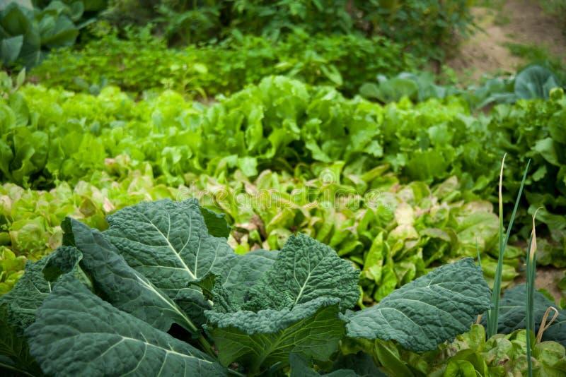 Πράσινος φυτικός κήπος Λάχανο, κρεμμύδι στοκ φωτογραφία με δικαίωμα ελεύθερης χρήσης