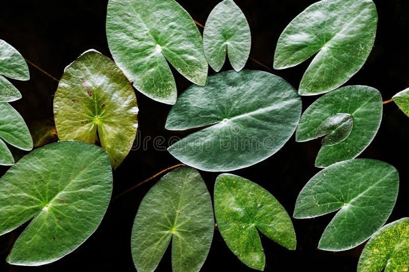 Πράσινος φύλλα λωτού ή κρίνος νερού από τη τοπ γωνία, σχέδιο φύσης στοκ εικόνα