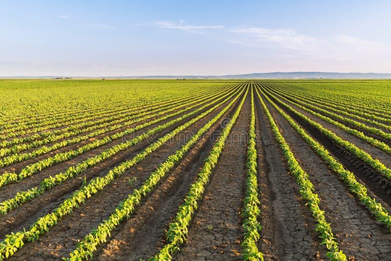Πράσινος ωριμάζοντας τομέας σόγιας, γεωργικό τοπίο στοκ εικόνα