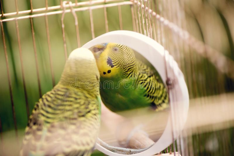 Πράσινος budgerigar στενός επάνω παπαγάλων κάθεται στο κλουβί Χαριτωμένο πράσινο budgie στοκ φωτογραφία με δικαίωμα ελεύθερης χρήσης
