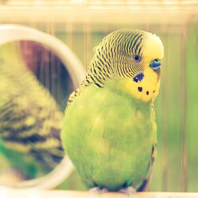 Πράσινος budgerigar στενός επάνω παπαγάλων κάθεται στο κλουβί Χαριτωμένο πράσινο budgie στοκ φωτογραφίες