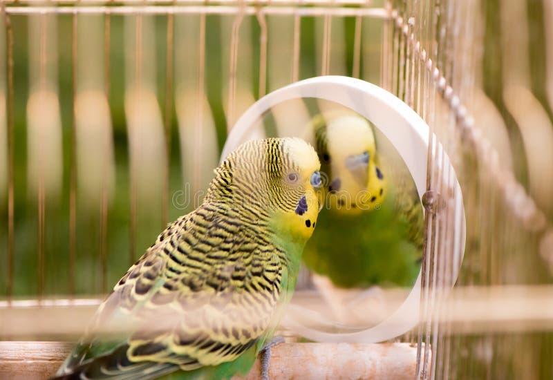 Πράσινος budgerigar στενός επάνω παπαγάλων κάθεται στο κλουβί Χαριτωμένο πράσινο budgie στοκ εικόνες με δικαίωμα ελεύθερης χρήσης