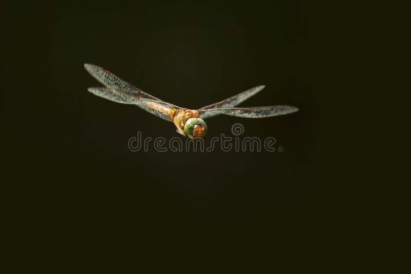 Πράσινος-eyed πωλητής Aeshna isoceles κατά την πτήση σε ένα σκοτεινό υπόβαθρο στοκ εικόνα