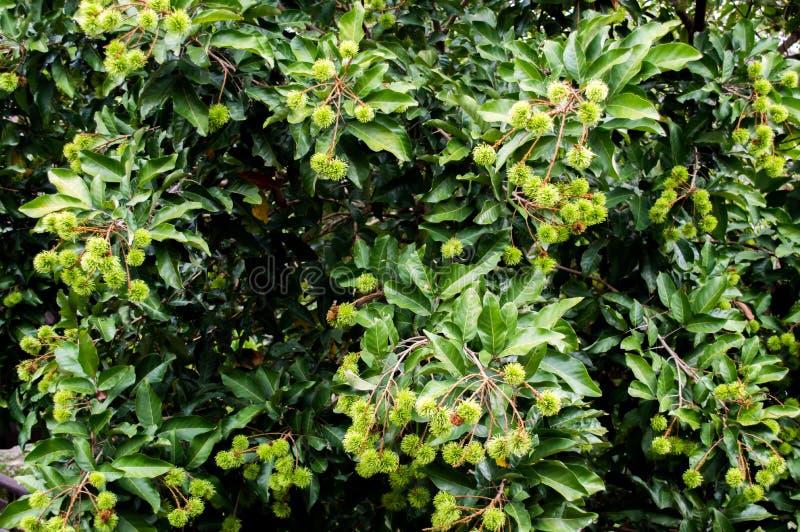 Πράσινος rambutan στο δέντρο στο δάσος στοκ εικόνα με δικαίωμα ελεύθερης χρήσης