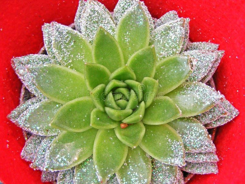 Πράσινος succullent με τα σπινθηρίσματα στο κόκκινο υπόβαθρο στοκ φωτογραφίες