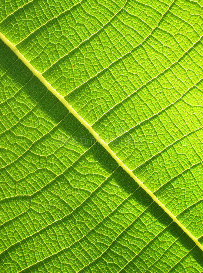 Πράσινος Teak στενός επάνω φύλλων στοκ φωτογραφία