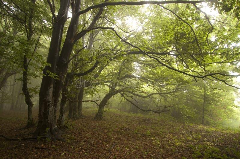 Πράσινο δάσος με την ομίχλη το καλοκαίρι με τα μυστηριώδη δέντρα στοκ εικόνες με δικαίωμα ελεύθερης χρήσης