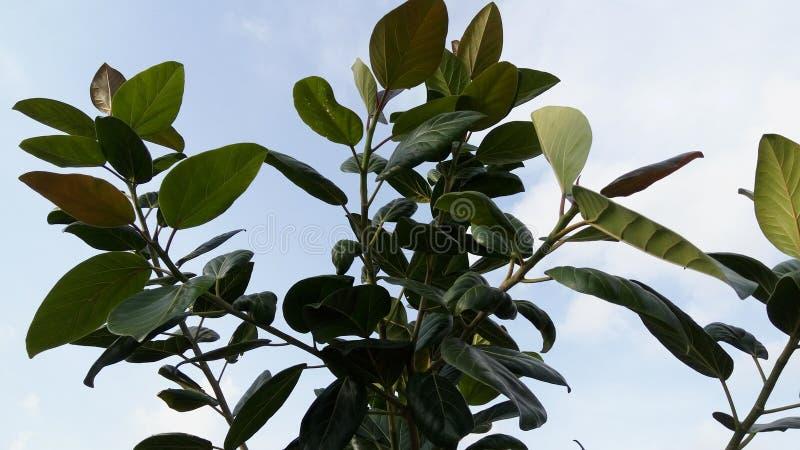 πράσινο δέντρο φύλλων στοκ εικόνα με δικαίωμα ελεύθερης χρήσης
