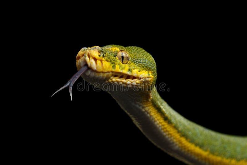 Πράσινο δέντρο Python Viridis του Μορέλια Μαύρη ανασκόπηση στοκ εικόνα με δικαίωμα ελεύθερης χρήσης