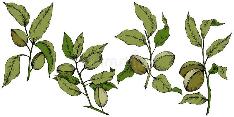 Πράσινο αμύγδαλο σε ένα διανυσματικό ύφος που απομονώνεται απεικόνιση αποθεμάτων