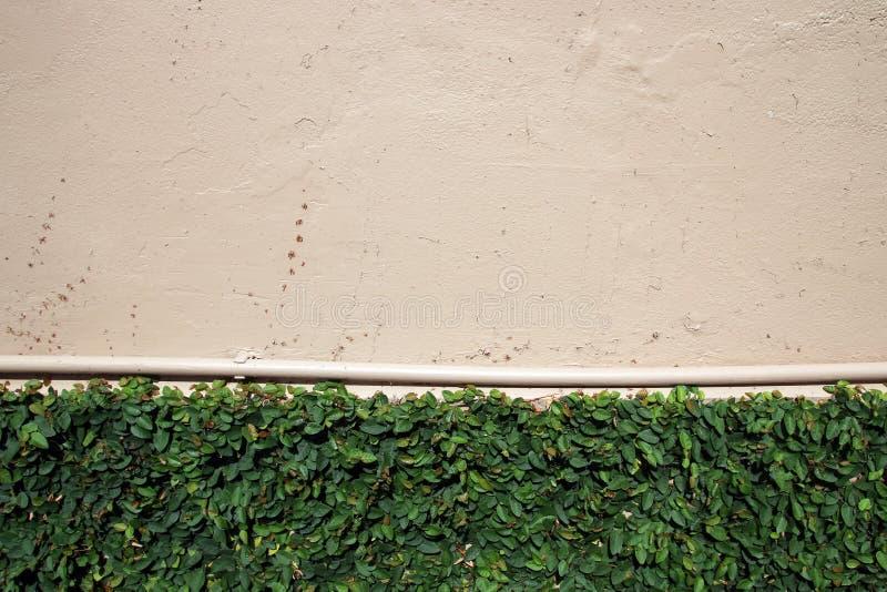 Πράσινο αναρριχητικό φυτό στον τραχύ χρωματισμένο τοίχο με τον υδροσωλήνα στοκ φωτογραφία με δικαίωμα ελεύθερης χρήσης