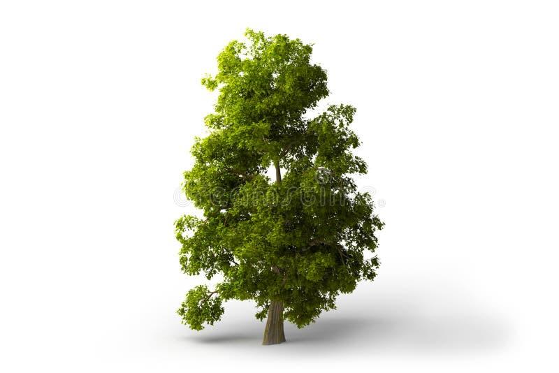 πράσινο απομονωμένο δέντρ&omicron στοκ εικόνα