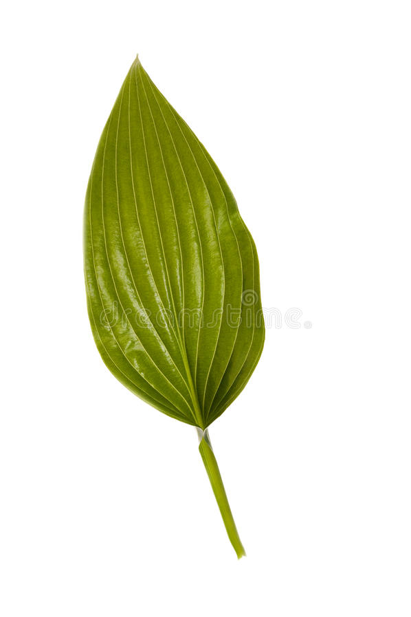 πράσινο απομονωμένο λευ&ka στοκ εικόνες