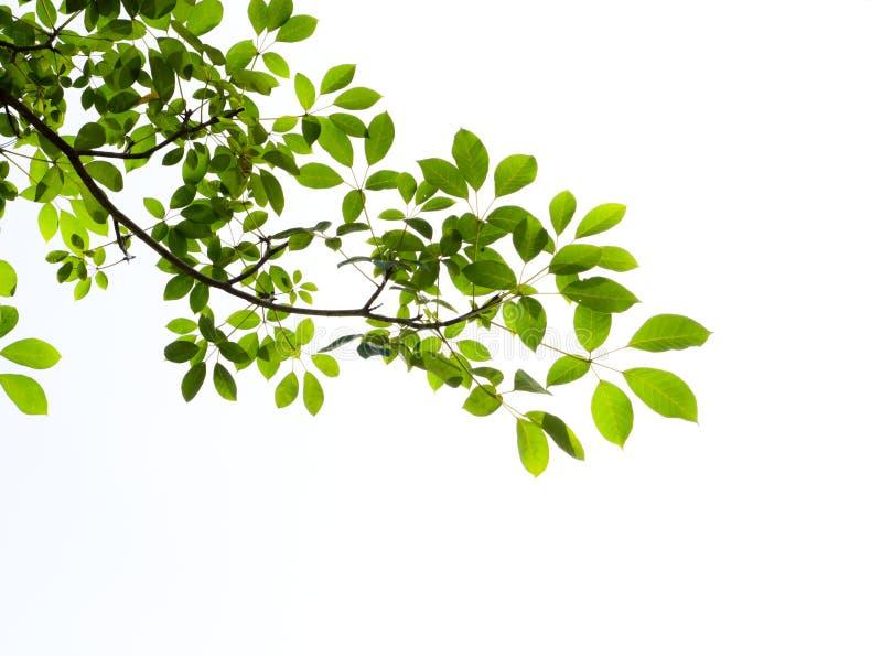 πράσινο απομονωμένο φύλλ&omicron στοκ φωτογραφίες