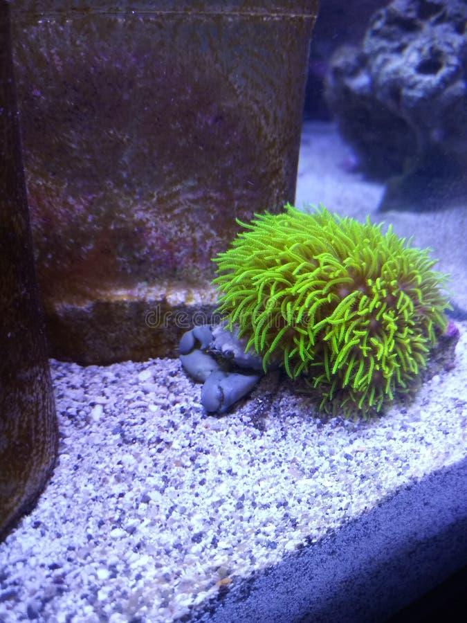 Πράσινο αστέρι καβουριών polyps στοκ εικόνα με δικαίωμα ελεύθερης χρήσης