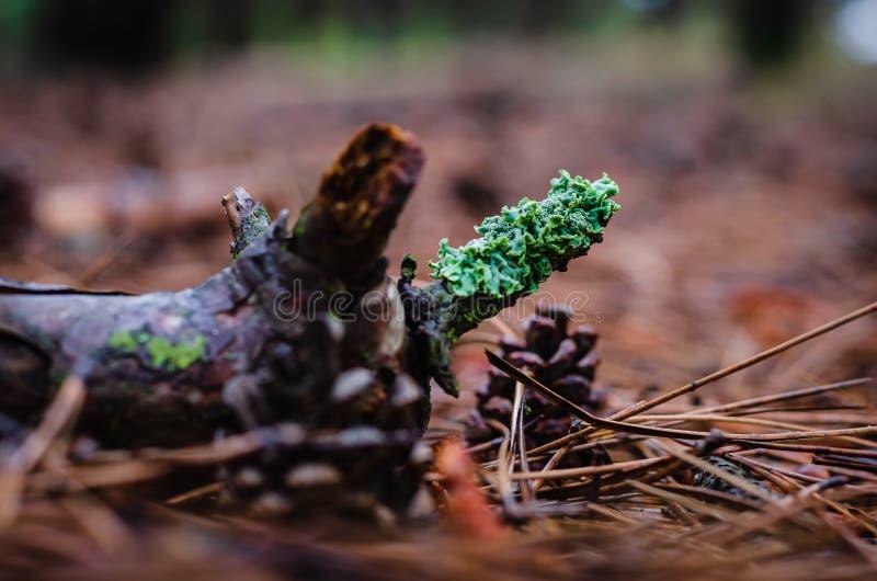 Πράσινο βρύο σε έναν κλάδο στο έδαφος Κοντινοί κώνοι και βελόνες Πυροβολισμός σε επίπεδο ματιών Mkro στοκ εικόνες