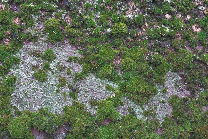 Πράσινο βρύο στο υπόβαθρο τσιμέντου Mossy λεπτομέρεια στοκ εικόνες