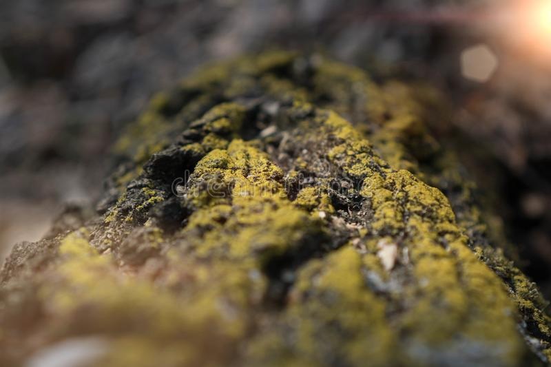 πράσινο βρύο στο υπόβαθρο φλοιών μακροεντολή του βρύου στο δάσος δέντρων φλοιών την άνοιξη στον ήλιο στοκ φωτογραφίες με δικαίωμα ελεύθερης χρήσης