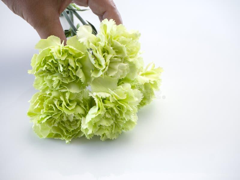 Πράσινο γαρίφαλο λαβής χεριών γυναικών στο λευκό στοκ φωτογραφία με δικαίωμα ελεύθερης χρήσης