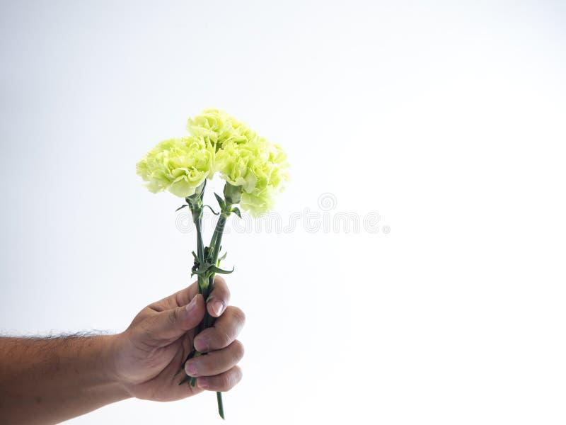Πράσινο γαρίφαλο λαβής χεριών γυναικών στο λευκό στοκ εικόνα