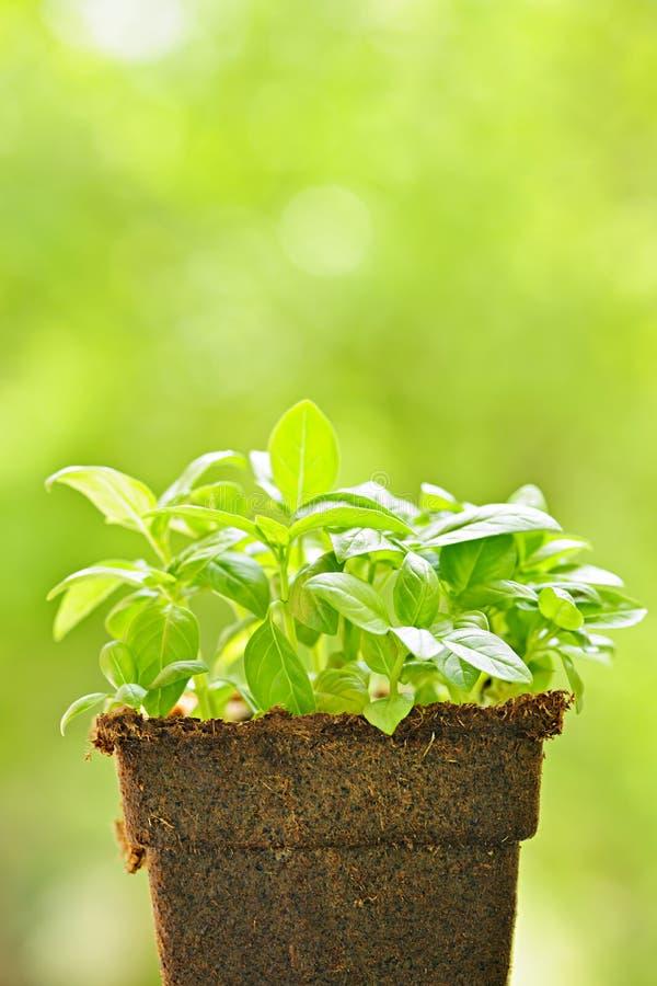 Πράσινο γλυκό φυτό βασιλικού στοκ εικόνα