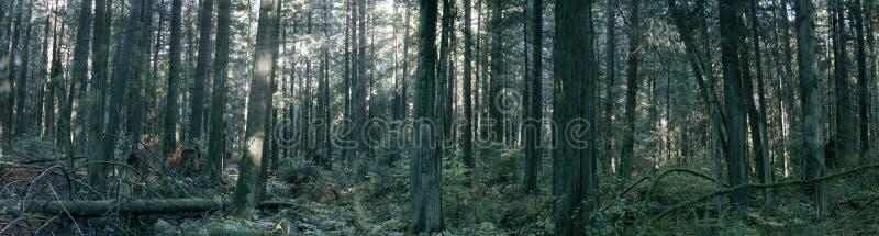 Πράσινο δάσος με τις ακτίνες ήλιων που φιλτράρουν μέσω των δέντρων  στοκ φωτογραφία με δικαίωμα ελεύθερης χρήσης