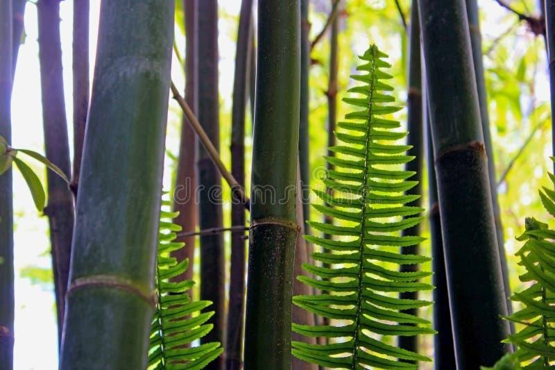 Πράσινο δάσος μπαμπού στοκ φωτογραφία με δικαίωμα ελεύθερης χρήσης