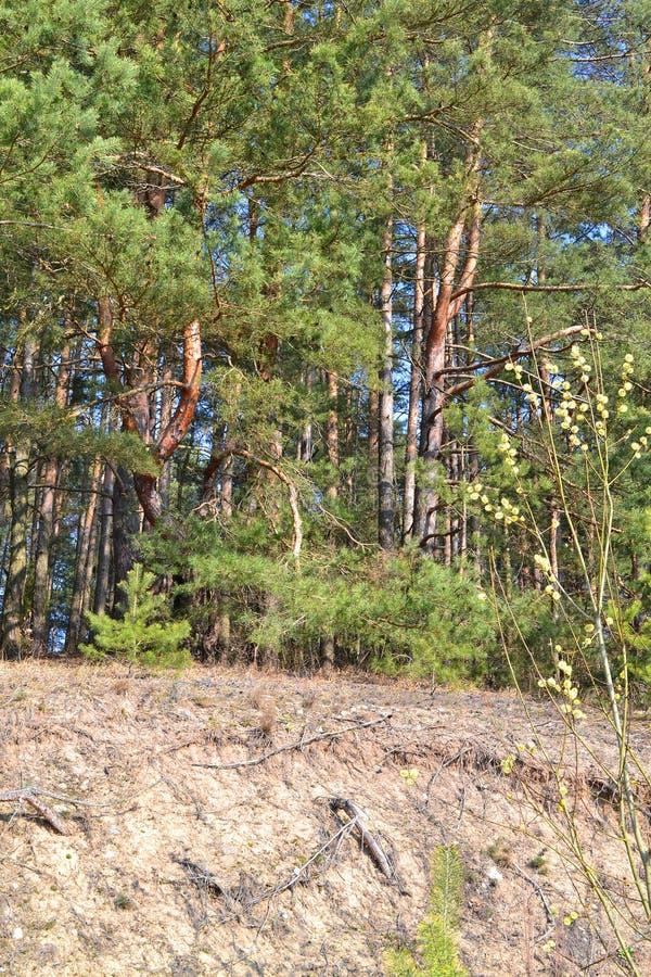 Πράσινο δάσος πεύκων με τον αμμόλοφο Φυσικό τοπίο φωτός του ήλιου, κάθετη φωτογραφία στοκ φωτογραφίες