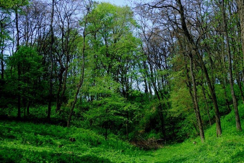Πράσινο δάσος την άνοιξη στοκ εικόνα με δικαίωμα ελεύθερης χρήσης