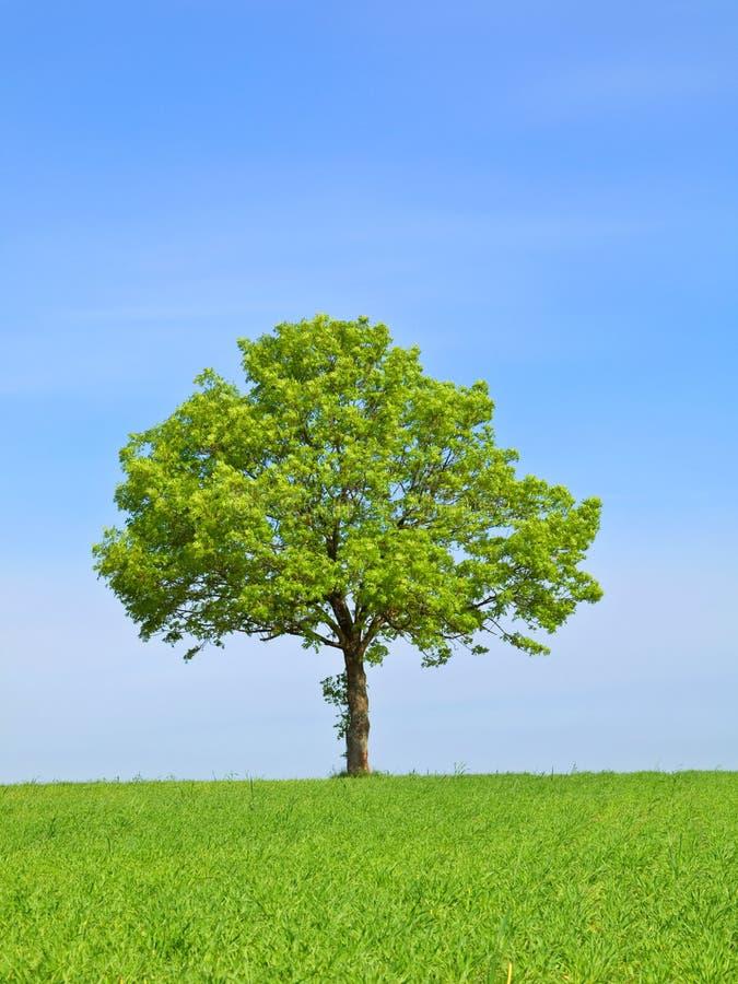 πράσινο δέντρο άνοιξη τοπίων στοκ φωτογραφία με δικαίωμα ελεύθερης χρήσης