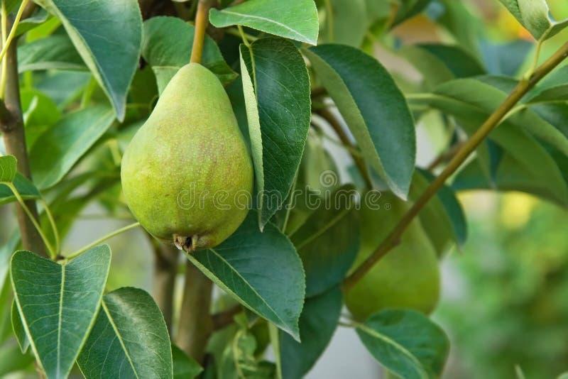 πράσινο δέντρο αχλαδιών στοκ φωτογραφίες
