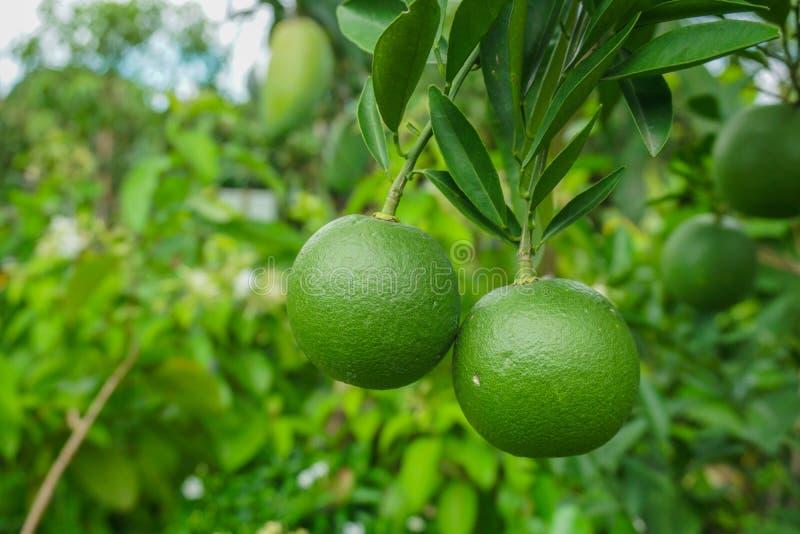 Πράσινο δέντρο λεμόνια στον κήπο με πράσινο μπλε φόντο Πράσινο λεμόνι και εσπεριδοειδή Εσπεριδοειδή καταγωγής Μπαγκλαντές στοκ φωτογραφίες με δικαίωμα ελεύθερης χρήσης