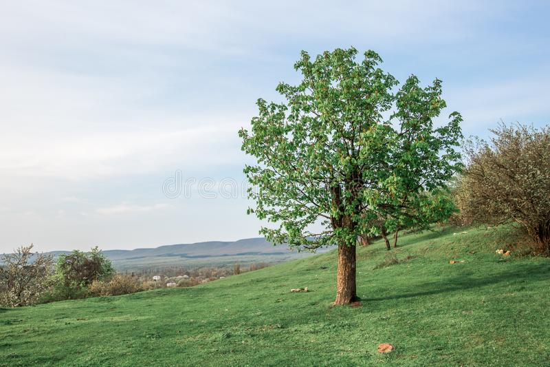 Πράσινο δέντρο σε έναν λόφο με την πράσινη χλόη την άνοιξη στοκ εικόνες