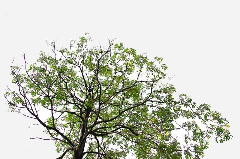 Πράσινο δέντρο σε απομονωμένο περιβάλλον, ένα αειθαλές φυτό που κόβεται σε λευκό φόντο με διαδρομή αποκοπής στοκ εικόνες με δικαίωμα ελεύθερης χρήσης