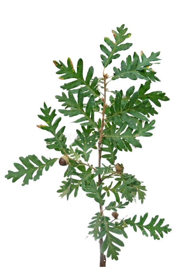 πράσινο δέντρο φύλλων φελ&lamb στοκ εικόνες με δικαίωμα ελεύθερης χρήσης