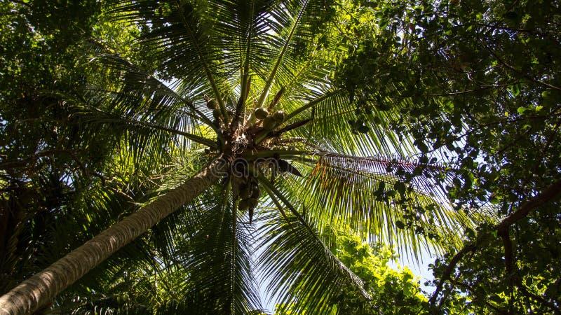 Πράσινο δασικό ψηλό δέντρο καρύδων στοκ εικόνα