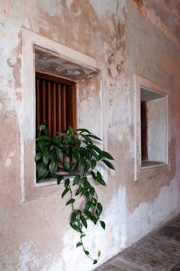Πράσινο δοχείο φυτού φύλλων, ξύλινα παράθυρα και παλαιός συμπαγής τοίχος στοκ εικόνες με δικαίωμα ελεύθερης χρήσης