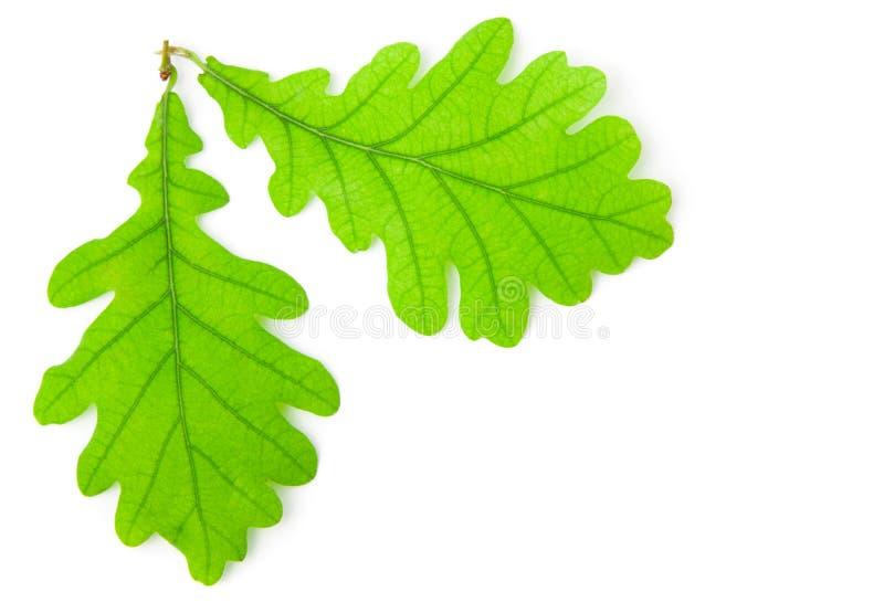 Πράσινο δρύινο φύλλο στοκ εικόνες