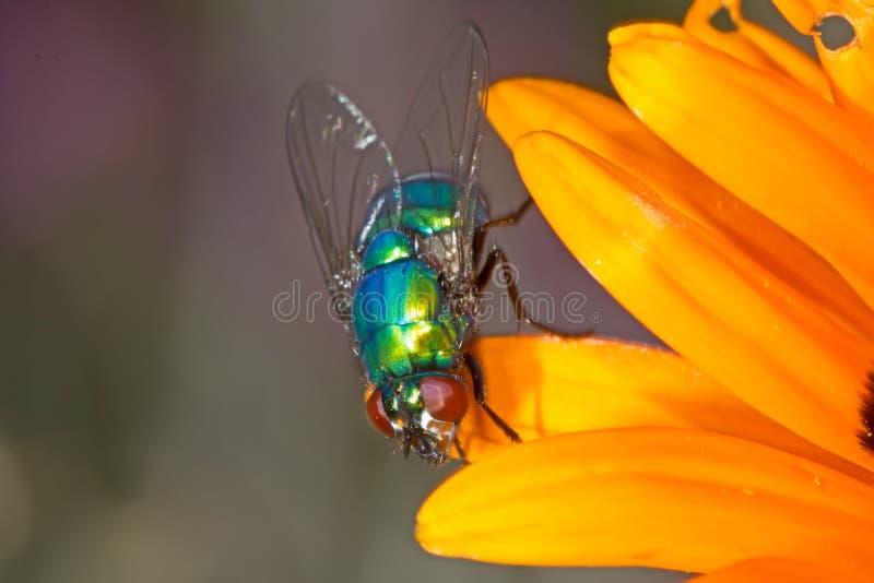 Πράσινο ενωμένο Blowfly στο πορτοκαλί λουλούδι στοκ εικόνες