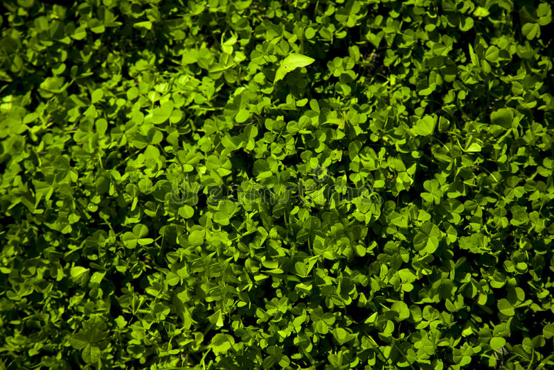 Πράσινο ζωηρόχρωμο υπόβαθρο τριφυλλιών, patric ` s ημέρα Αγίου στοκ εικόνες με δικαίωμα ελεύθερης χρήσης