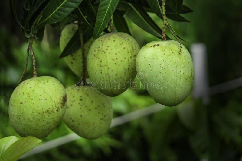 Πράσινο & κίτρινο μάγκο του Κασμίρ αύξησης μάγκο του Μπανγκλαντές Himsagar μεγέθους βασιλιάδων στοκ φωτογραφία με δικαίωμα ελεύθερης χρήσης