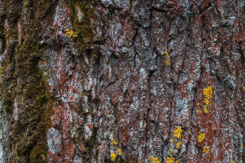 Πράσινο και κίτρινο βρύο στον καφετής-κόκκινο φλοιό του κορμού, του υποβάθρου ή της σύστασης δέντρων στοκ φωτογραφία