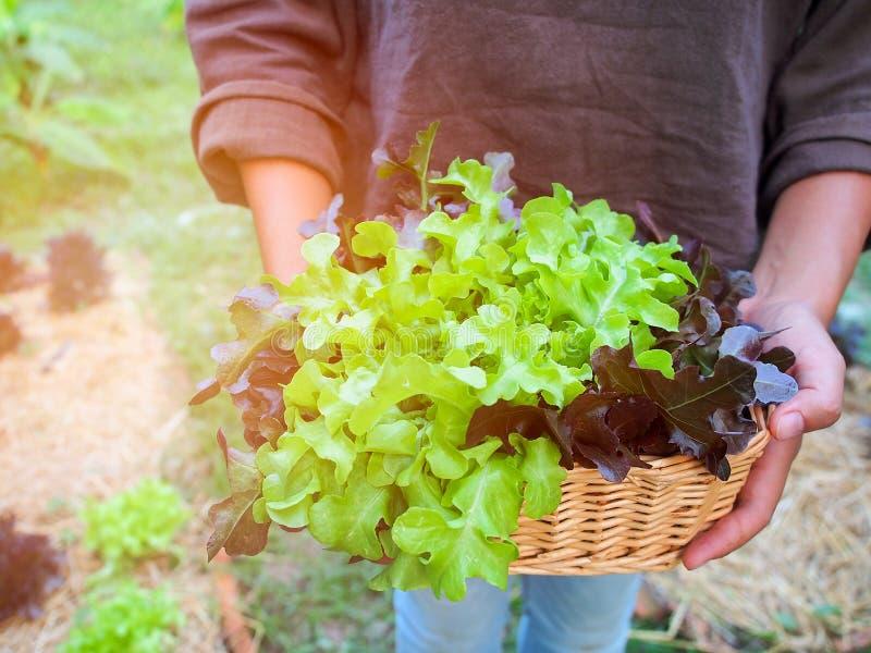 Πράσινο και κόκκινο δρύινο λαχανικό μαρουλιού στοκ φωτογραφία
